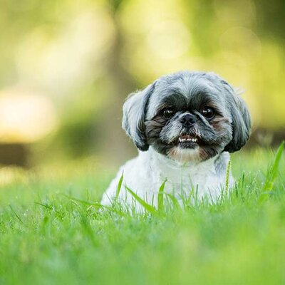 Dog-Care Facts Every Shih Tzu Owner Needs to Know | Better