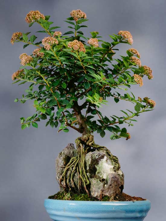 Types Of Bonsai Trees Better Homes Gardens