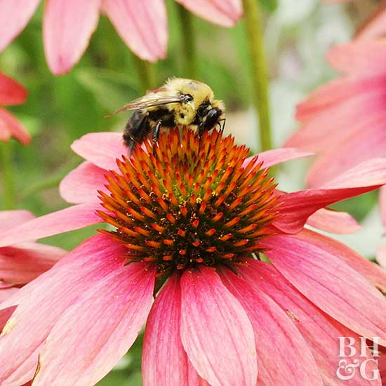 bee on top of a pink coneflower