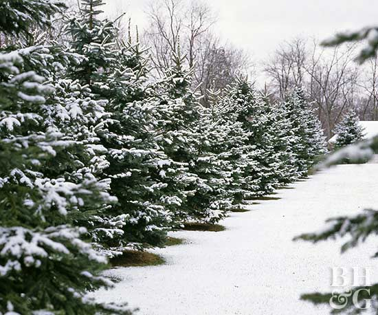 evergreen trees covered in snow