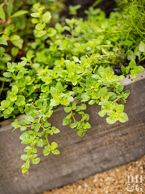 insect-repelling lemon thyme
