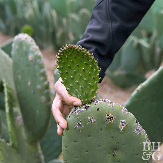 hand touching prickly pear cactus