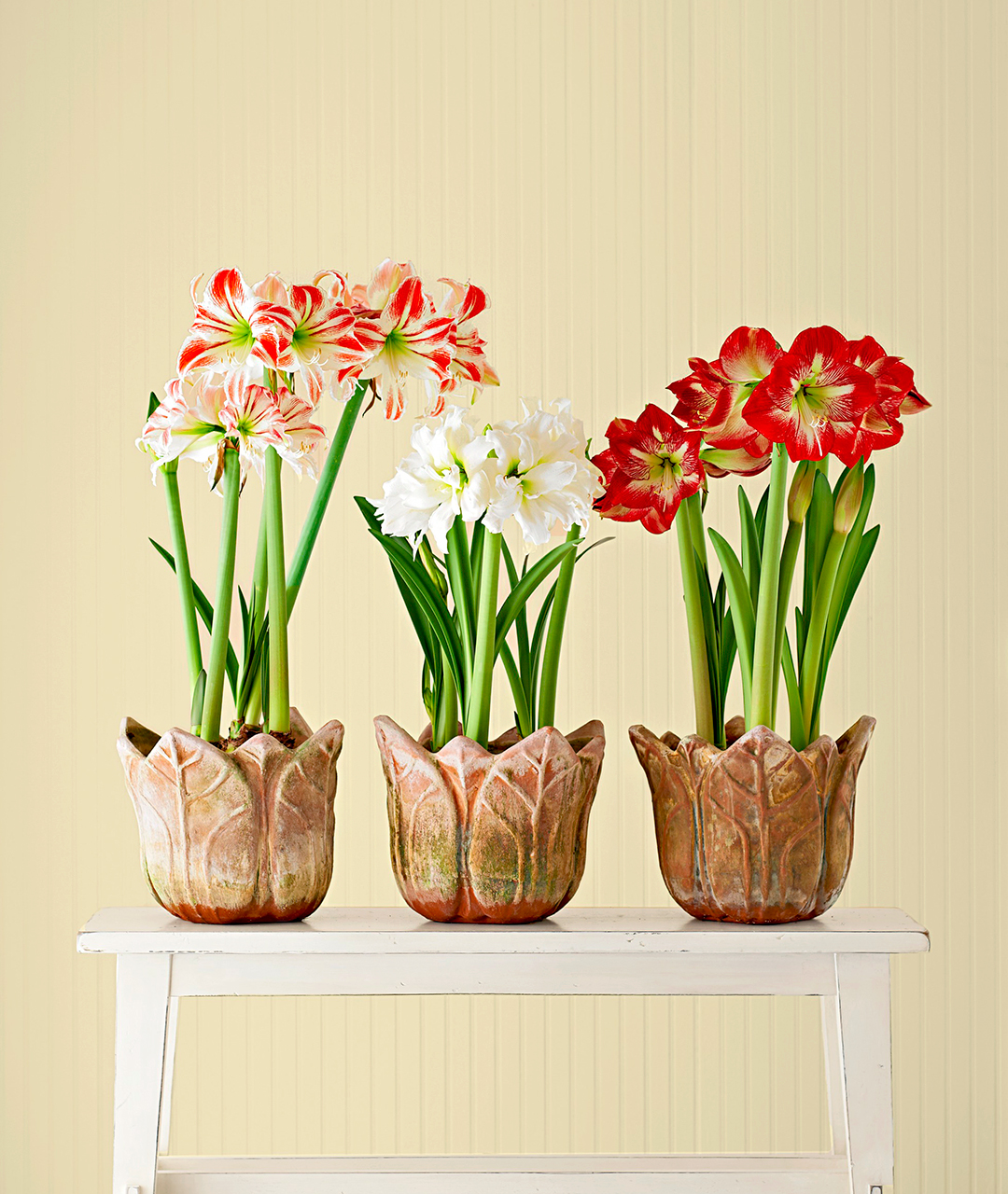 amaryllis varieties in containers