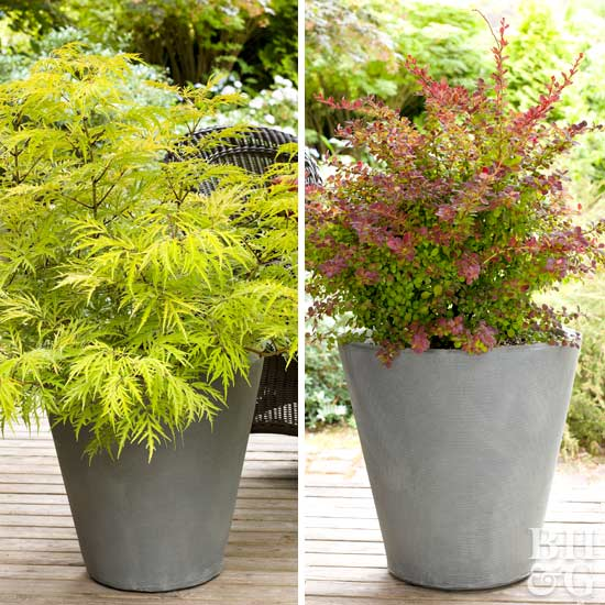 Best Shrubs For Containers Better Homes Gardens