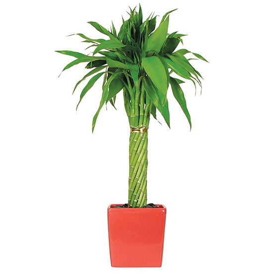 Amazon bamboo plant in red planter