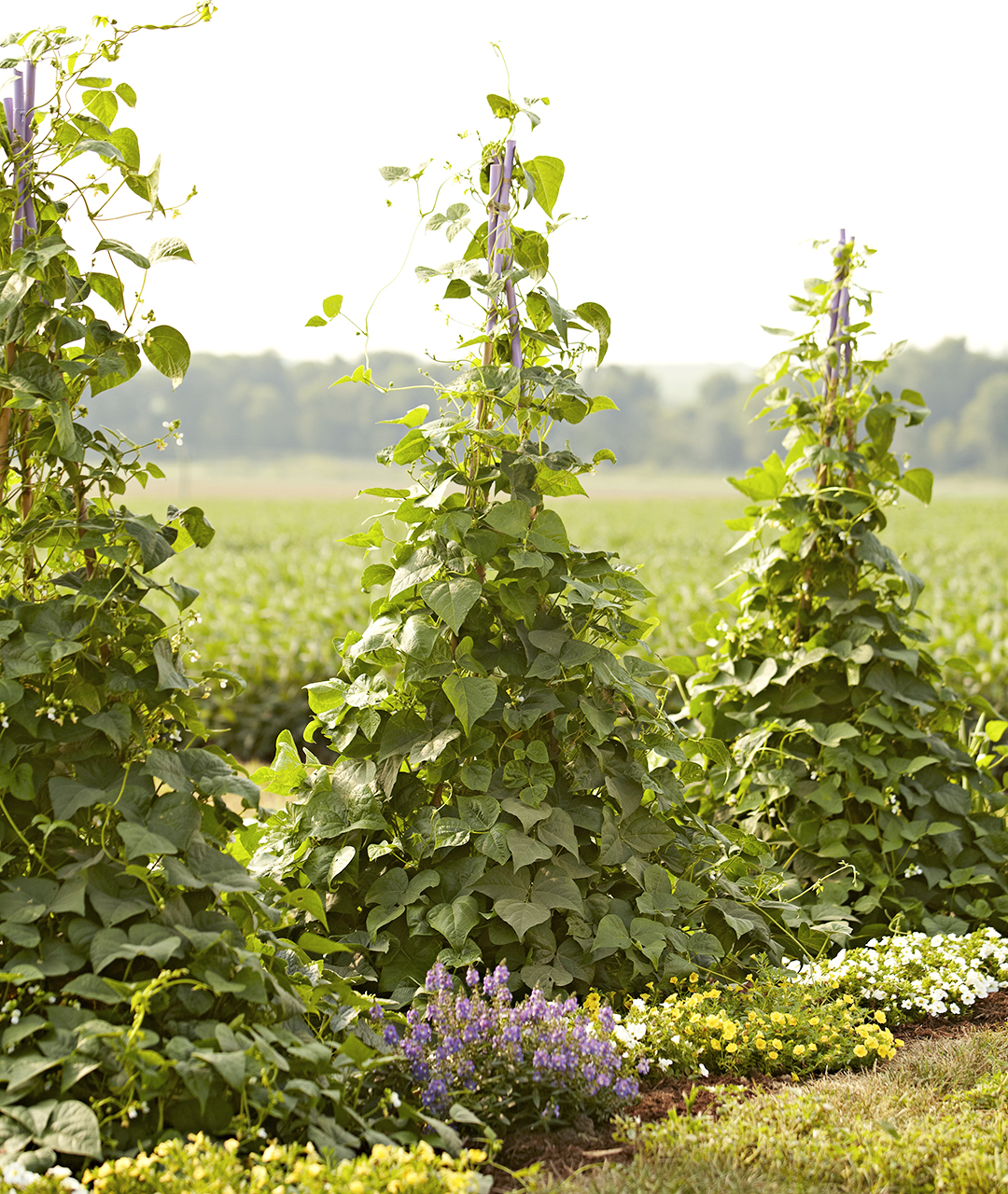 pole beans on trellis in field