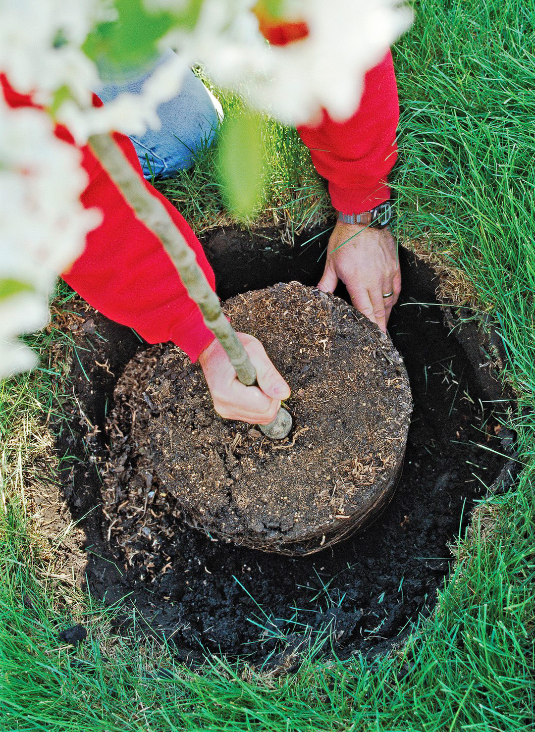 placing crabapple tree in hole
