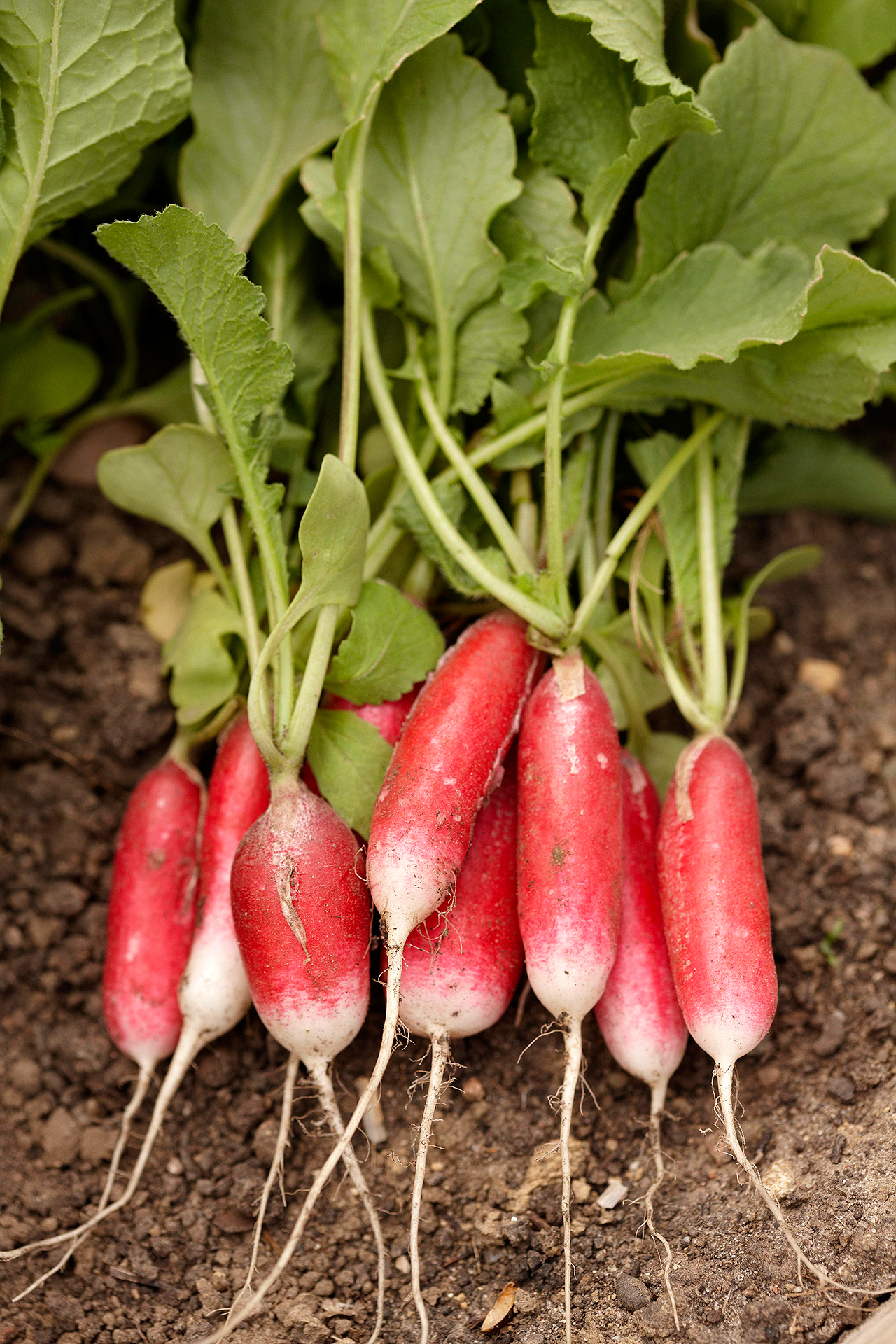 pile of harvested radishes in garden bed