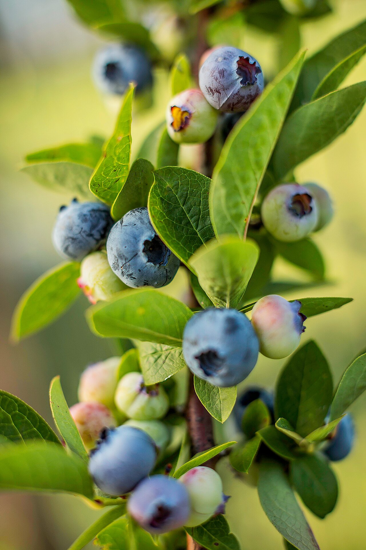 Fast Growing Fruits Better Homes Gardens