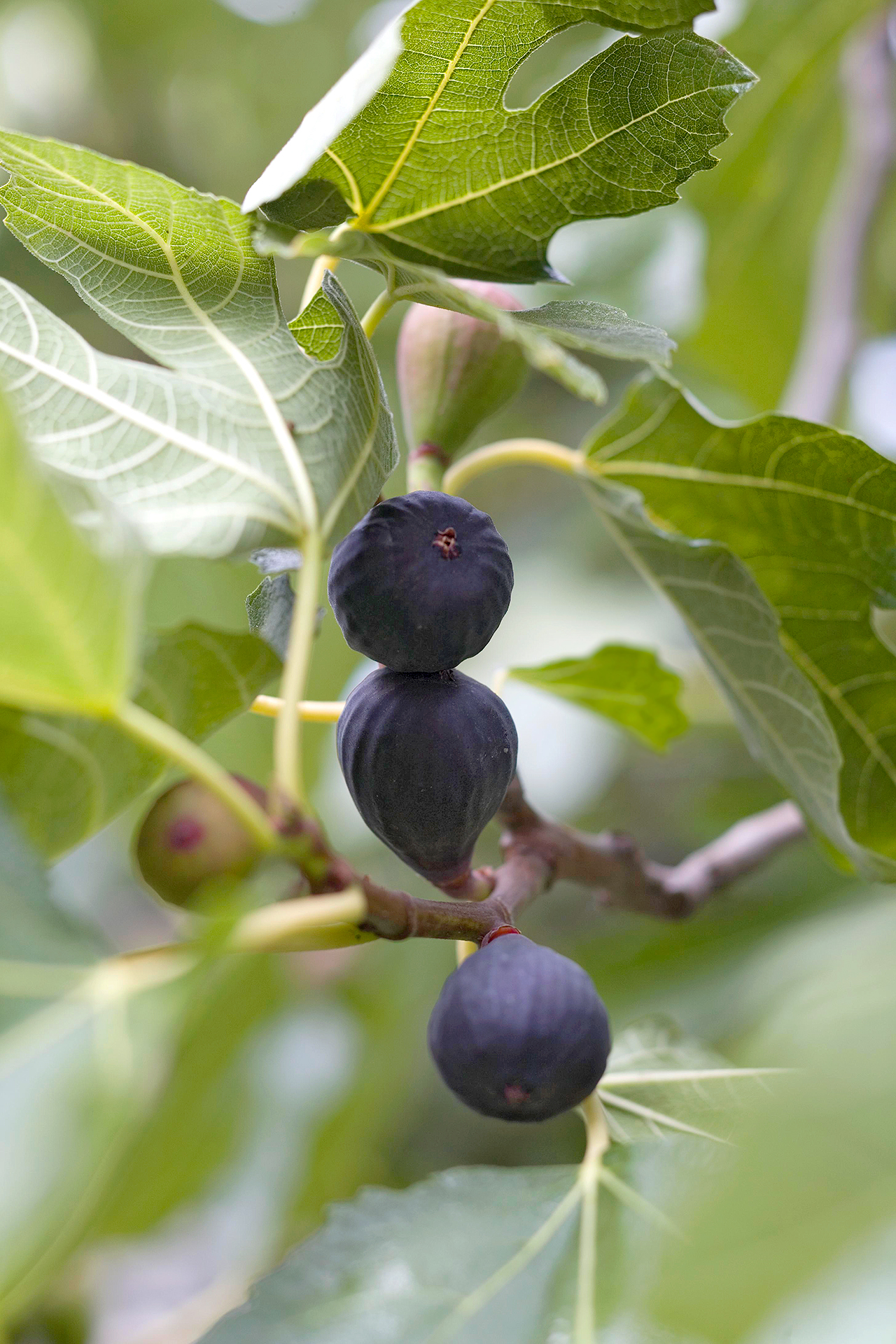 figs on branches of tree