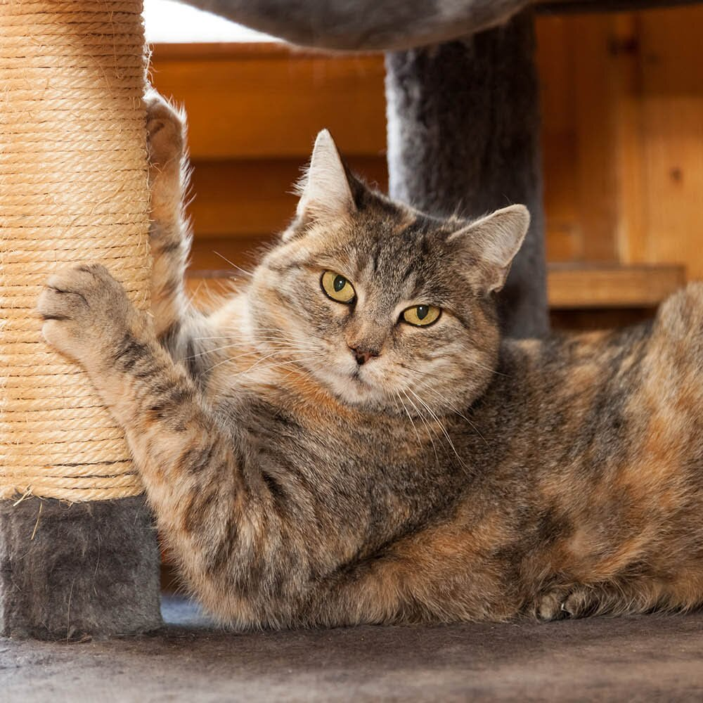 Cat Scratching Solutions How To Stop A Cat From Scratching Better Homes Gardens