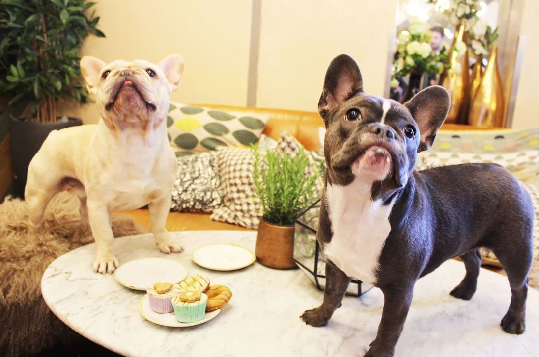 Two pugs eating dessert at the Pug Cafe