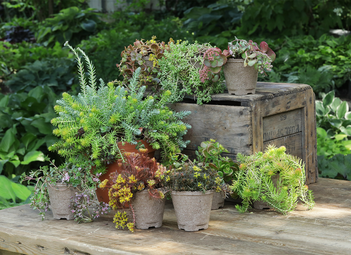 Sedum potted plants video still