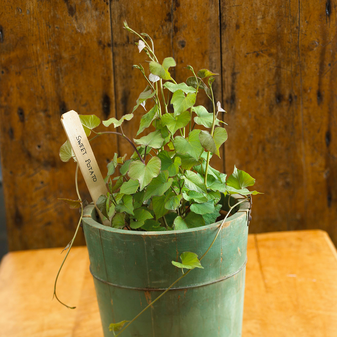 sweet potato plant in green bucket