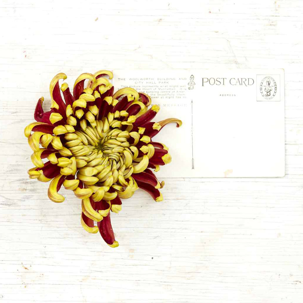 Red and yellow Chrysanthemum 'St. Tropez' mum flower next to postcard to show size of bloom