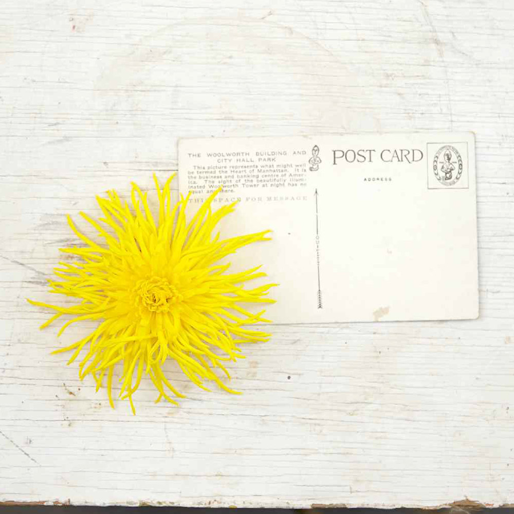 Yellow Chrysanthemum 'Cisco' bloom next to postcard to show size of flower