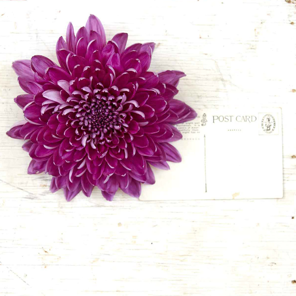 Bright purple and magenta Chrysanthemum Resomee Purple next to postcard to show size of bloom