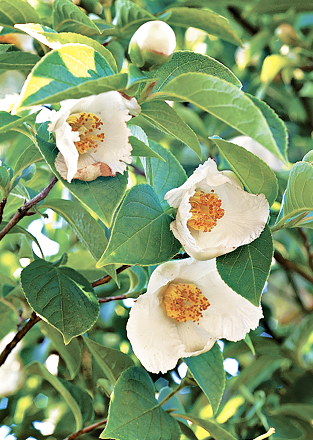 stewartia tree with blooms
