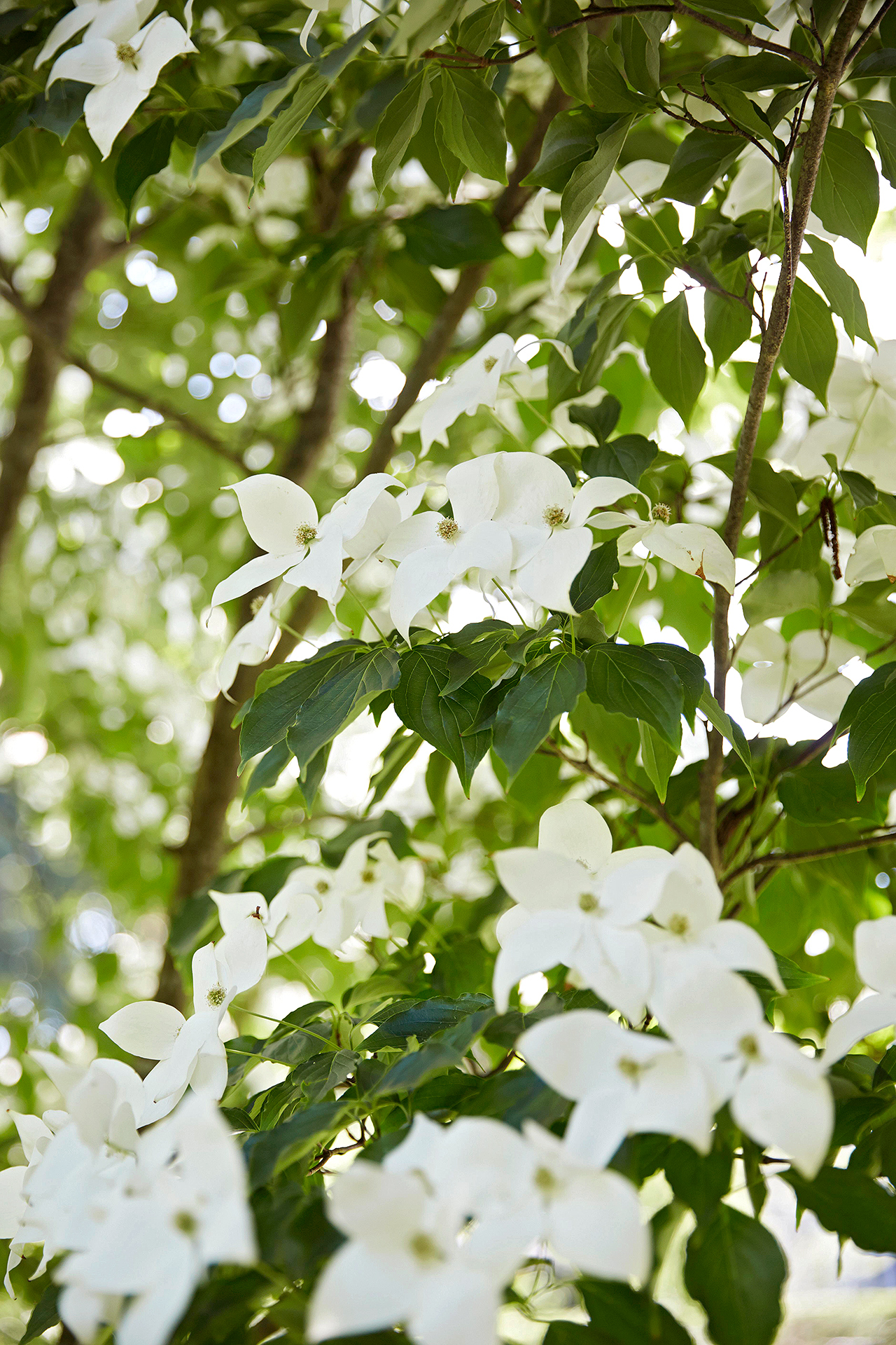 flowering dogwood kousa cornus treet