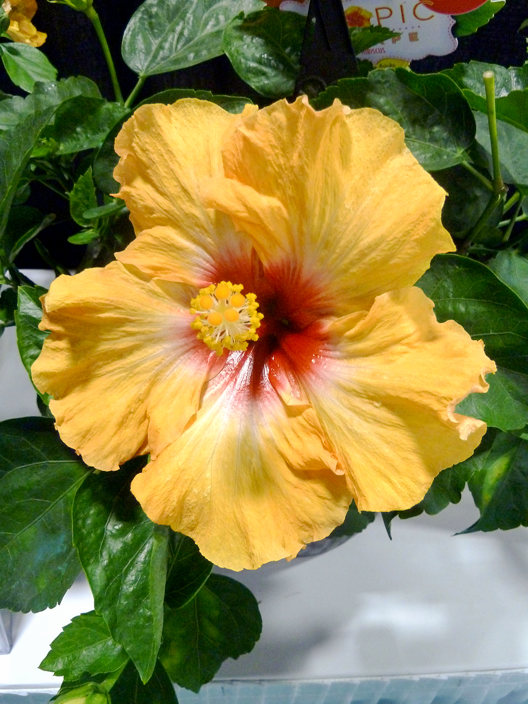 tropical hibiscus state flower
