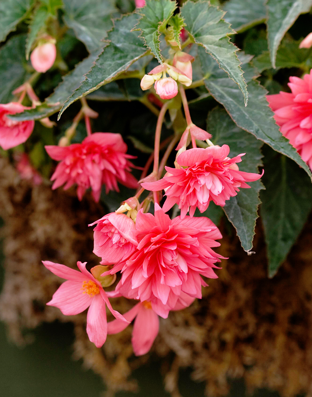 Begonia 'Bellagio Pink'