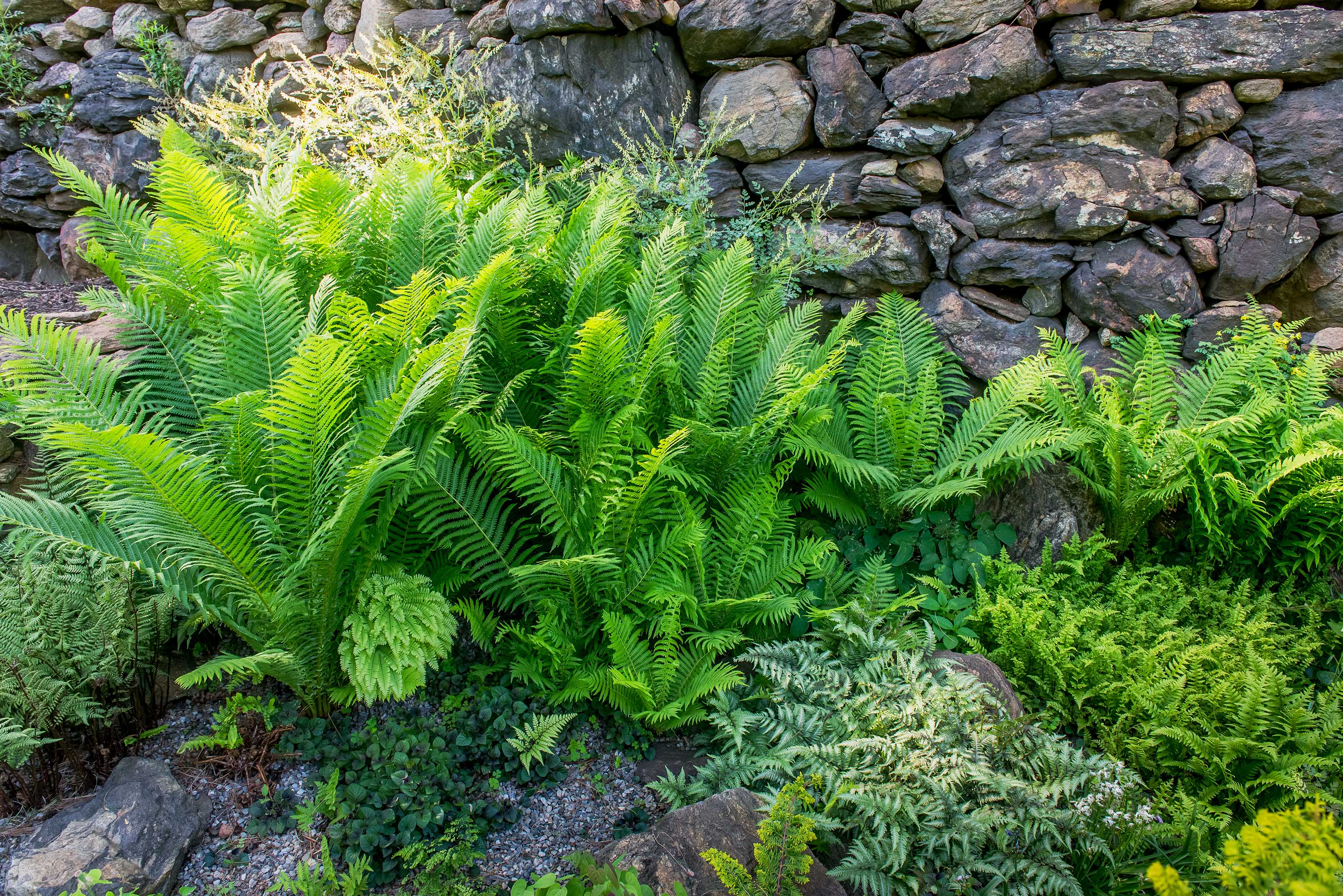 ostrich fern painted fern at base of stone wall