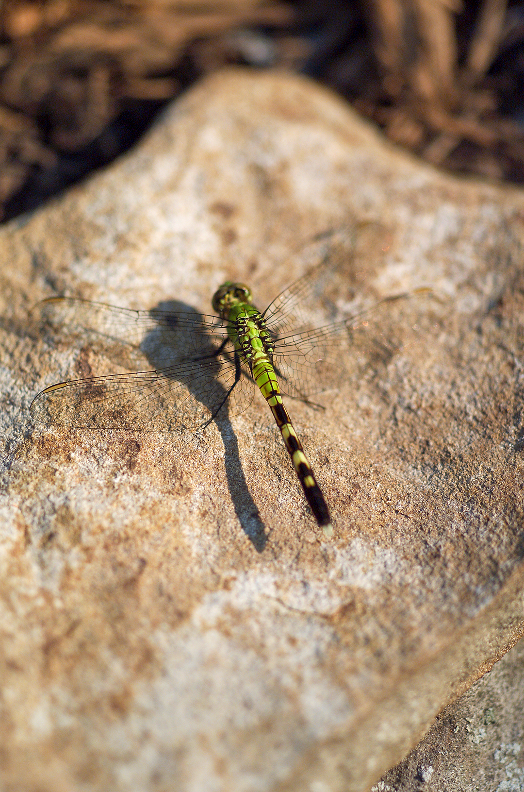 dragonfly resting on rock