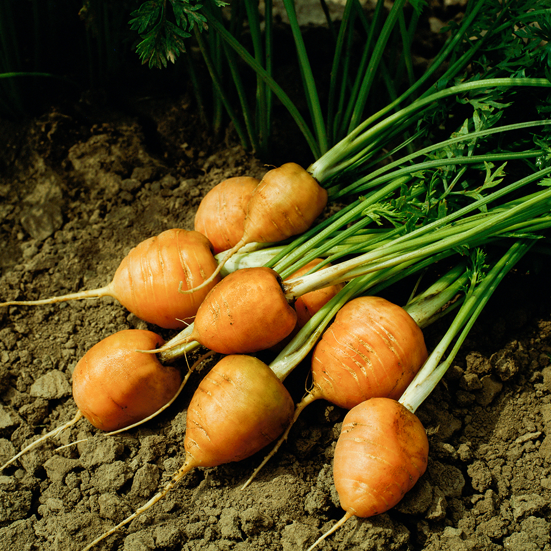 small group of garden carrots in dirt