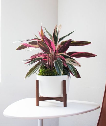 magenta triostar plant from Léon and George in a white pot