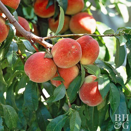 Peach Prunus perscia