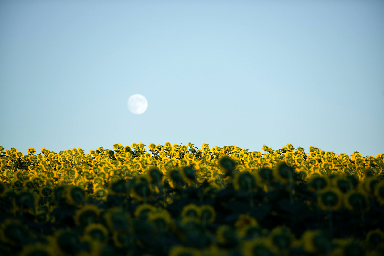 faint moon over field of sunflower plants