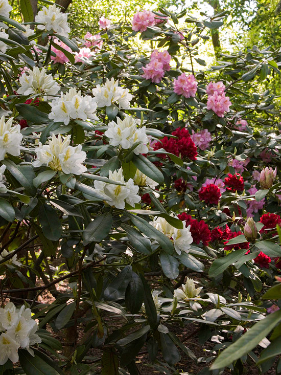 Rhododendron, shade garden, red and pink flowers