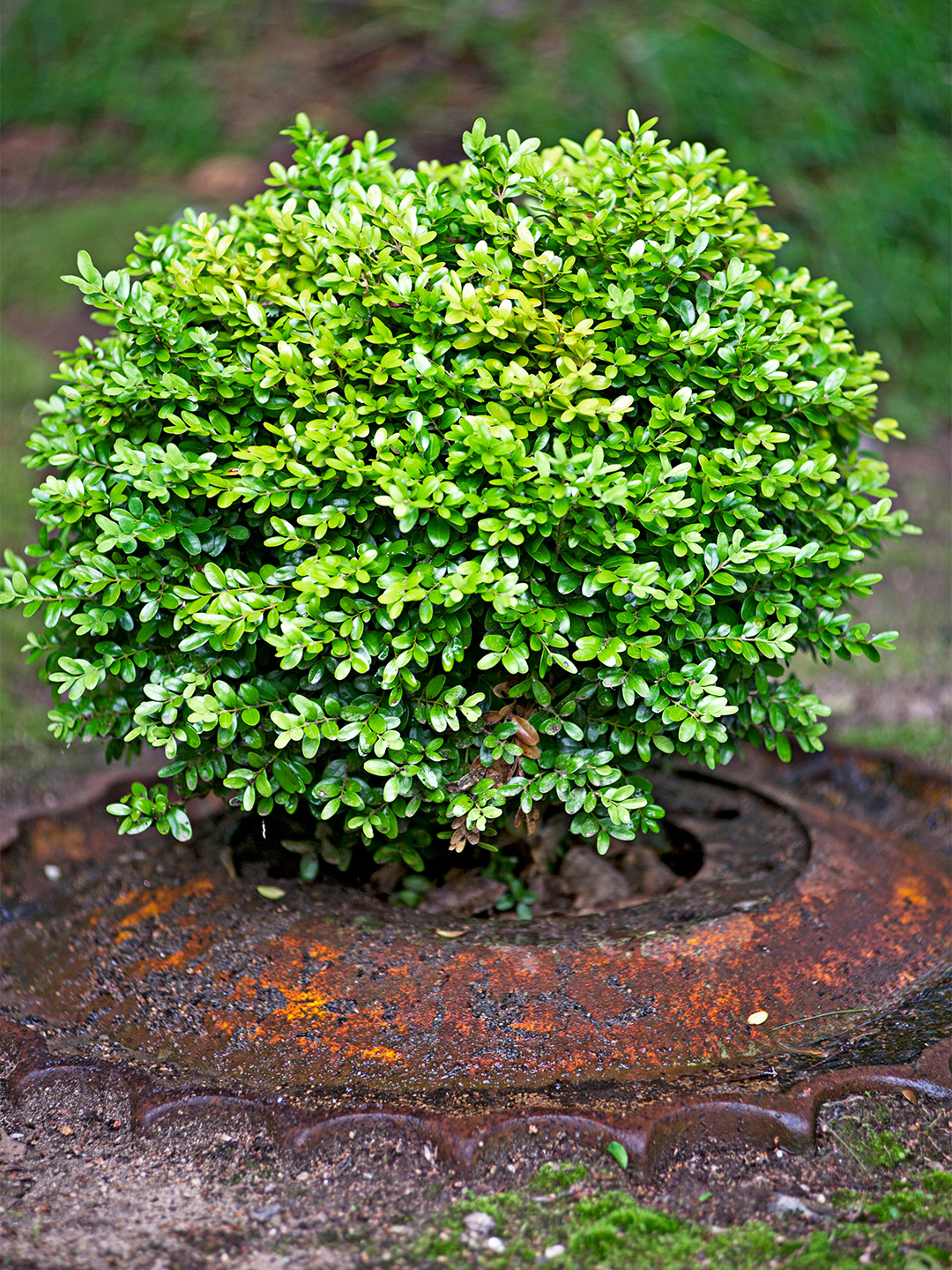 boxwood shrub in ground surrounded by metal decoration