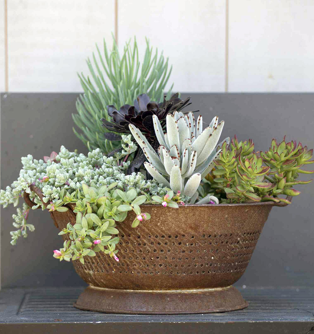 beautiful succulent garden planted in a rusty vintage colander