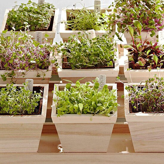 How to Grow Microgreens Indoors   Better Homes & Gardens