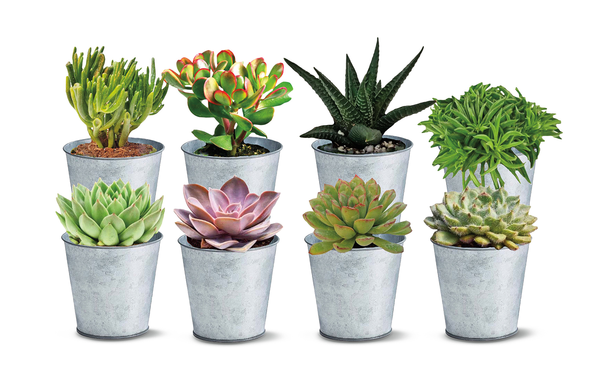 8 different succulents in silver tins on white background