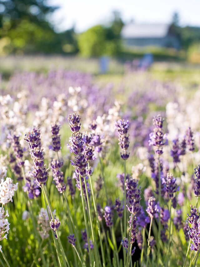 A Gardener's Guide to Growing Beautiful and Fragrant Lavender