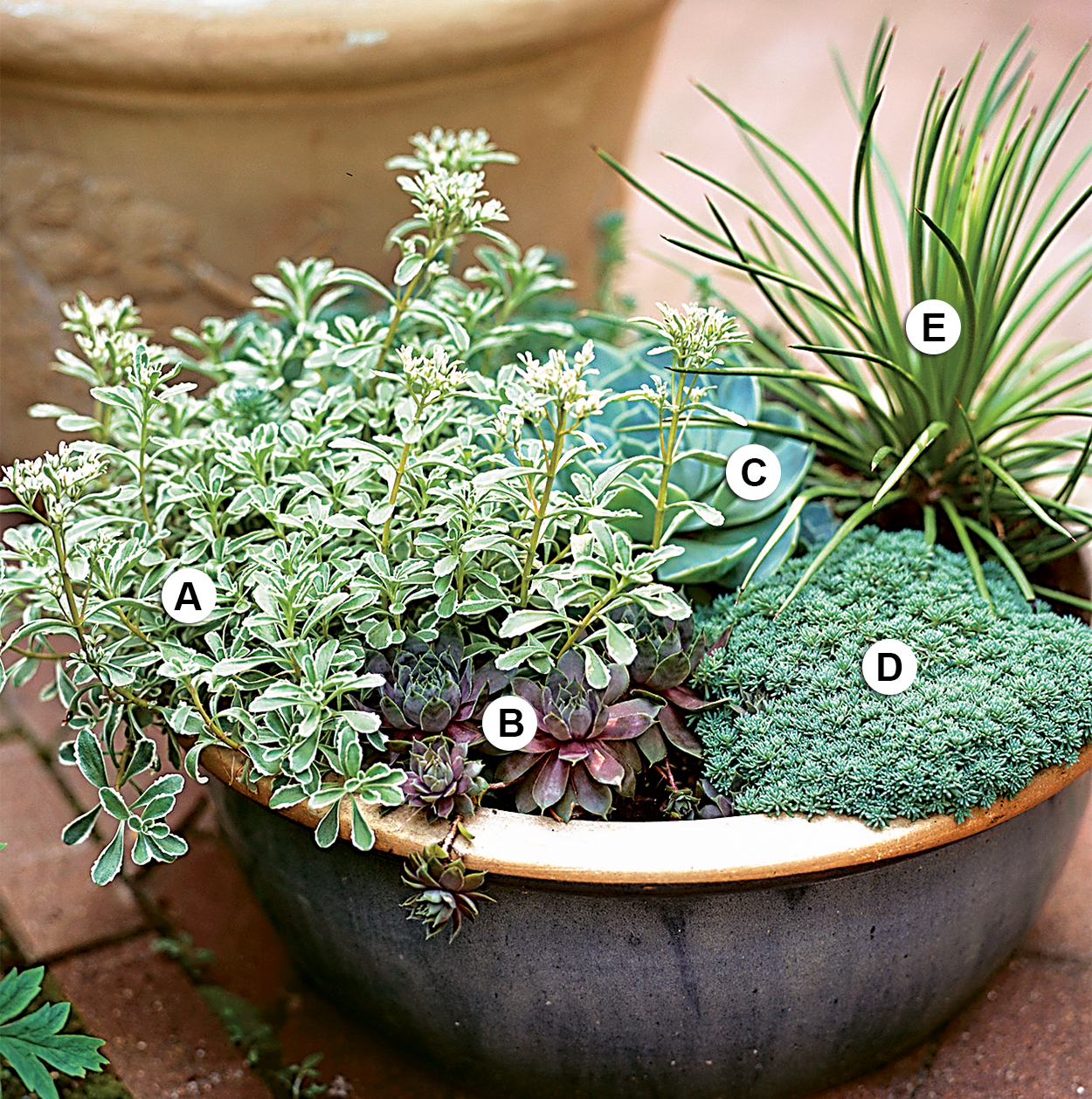 succulents with silvery blue foilage