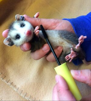 Opossum held in a hand and brushed with a mascara wand