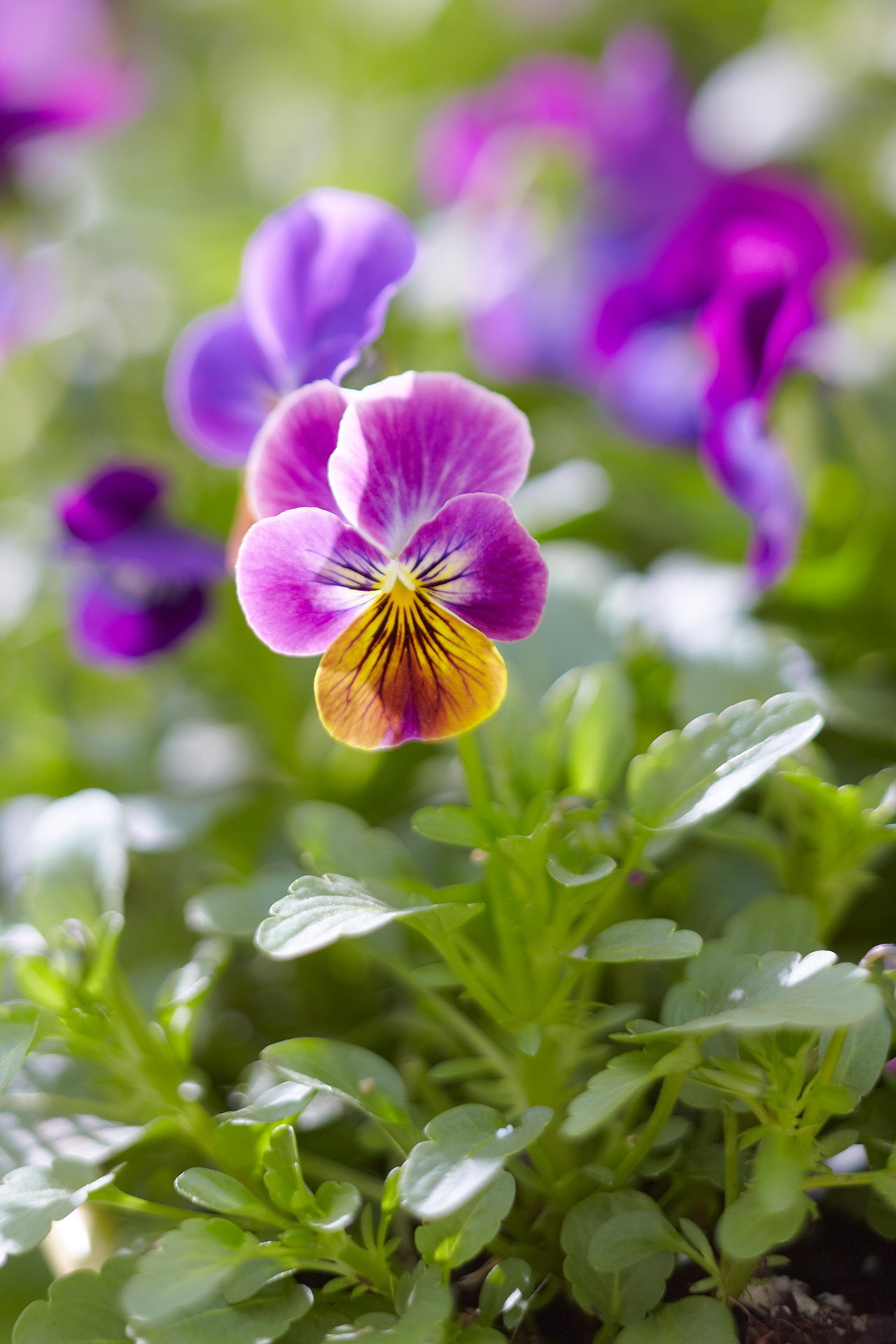 6 Surprising Facts About Pansies You Probably Didn T Know Better