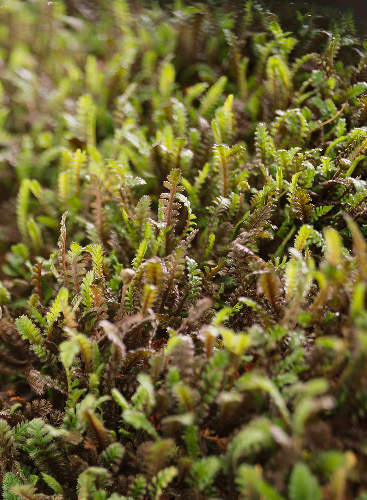 leptinella squalida cover ground plant