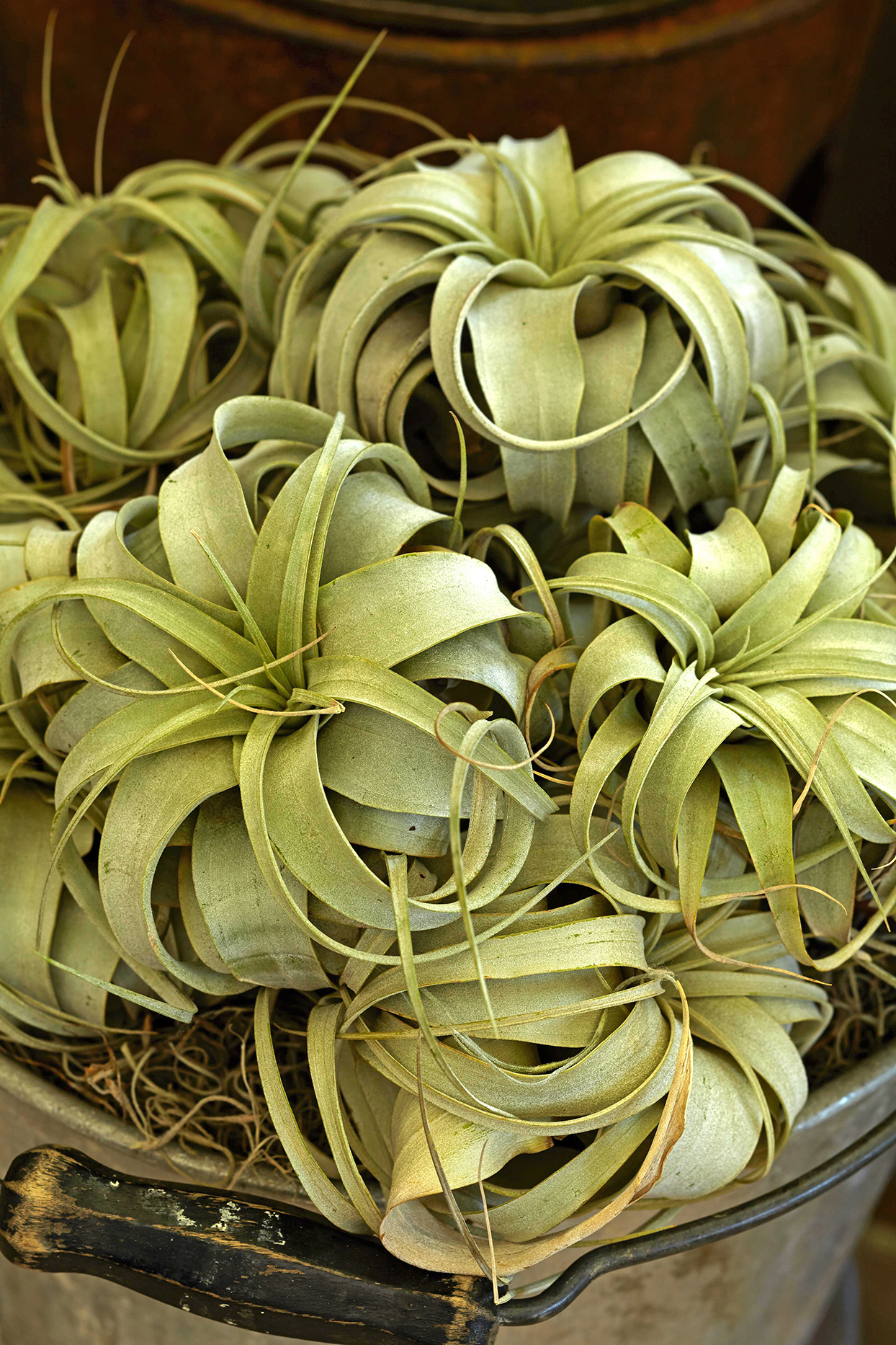 yellow-green air plants in pot