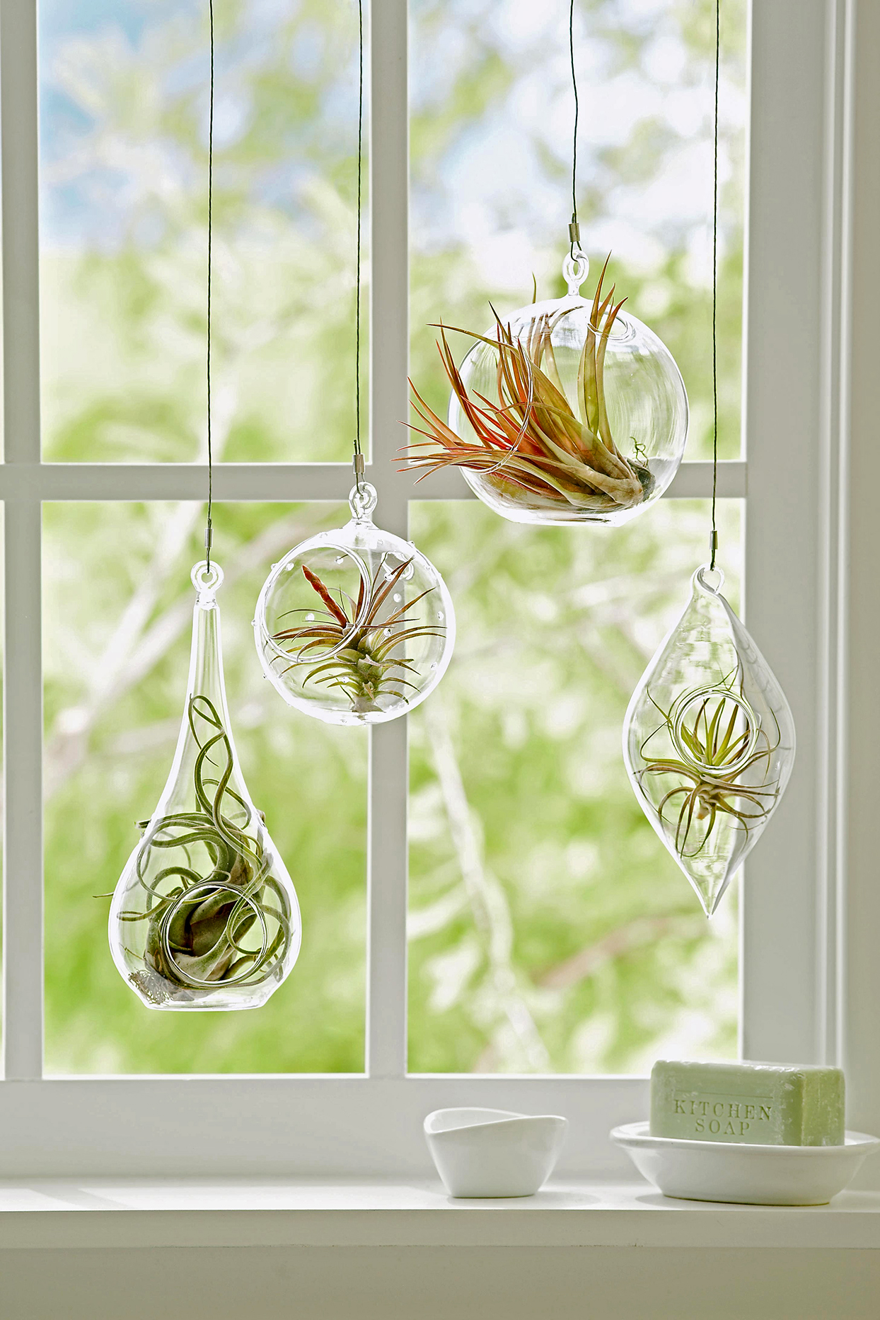 hanging air plants in front of window