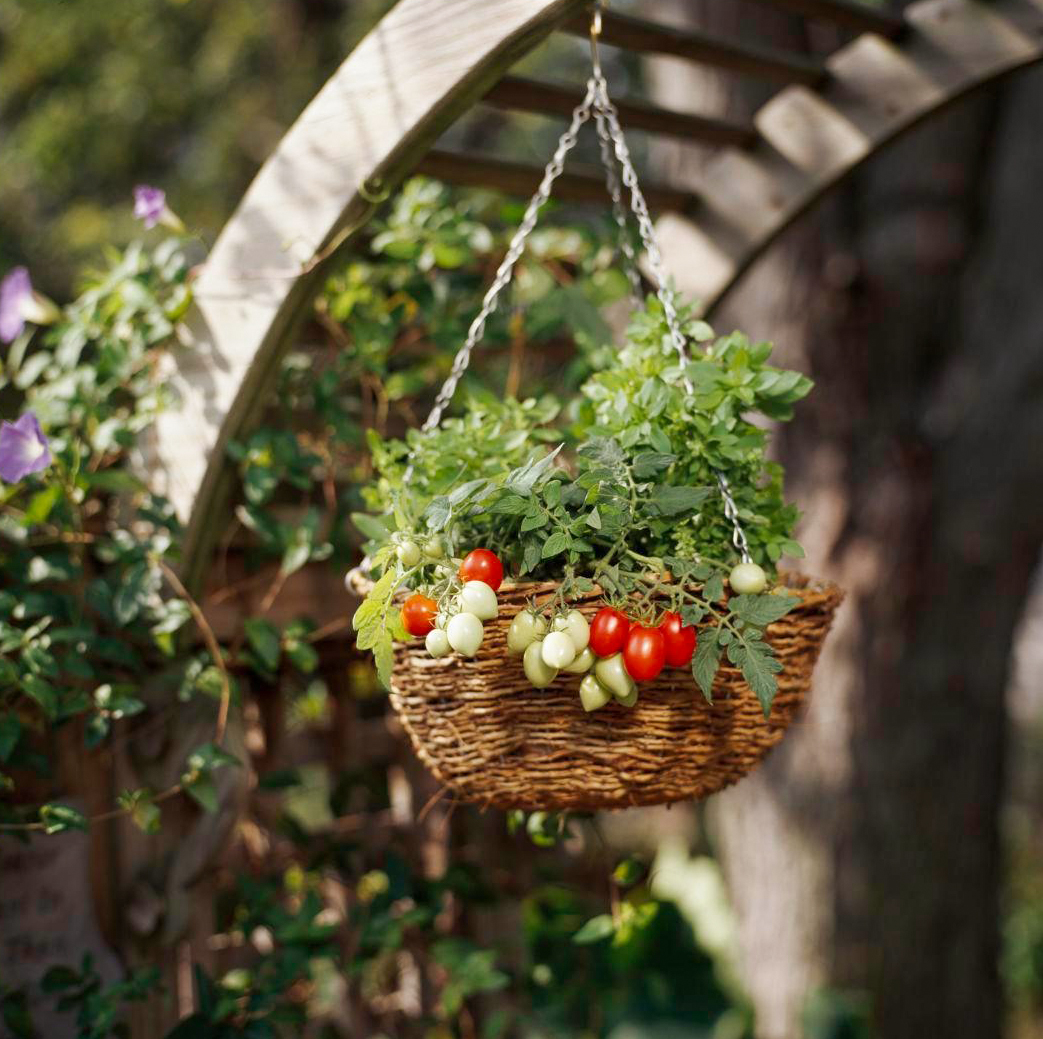 cherry tomato plant in hangingbasket