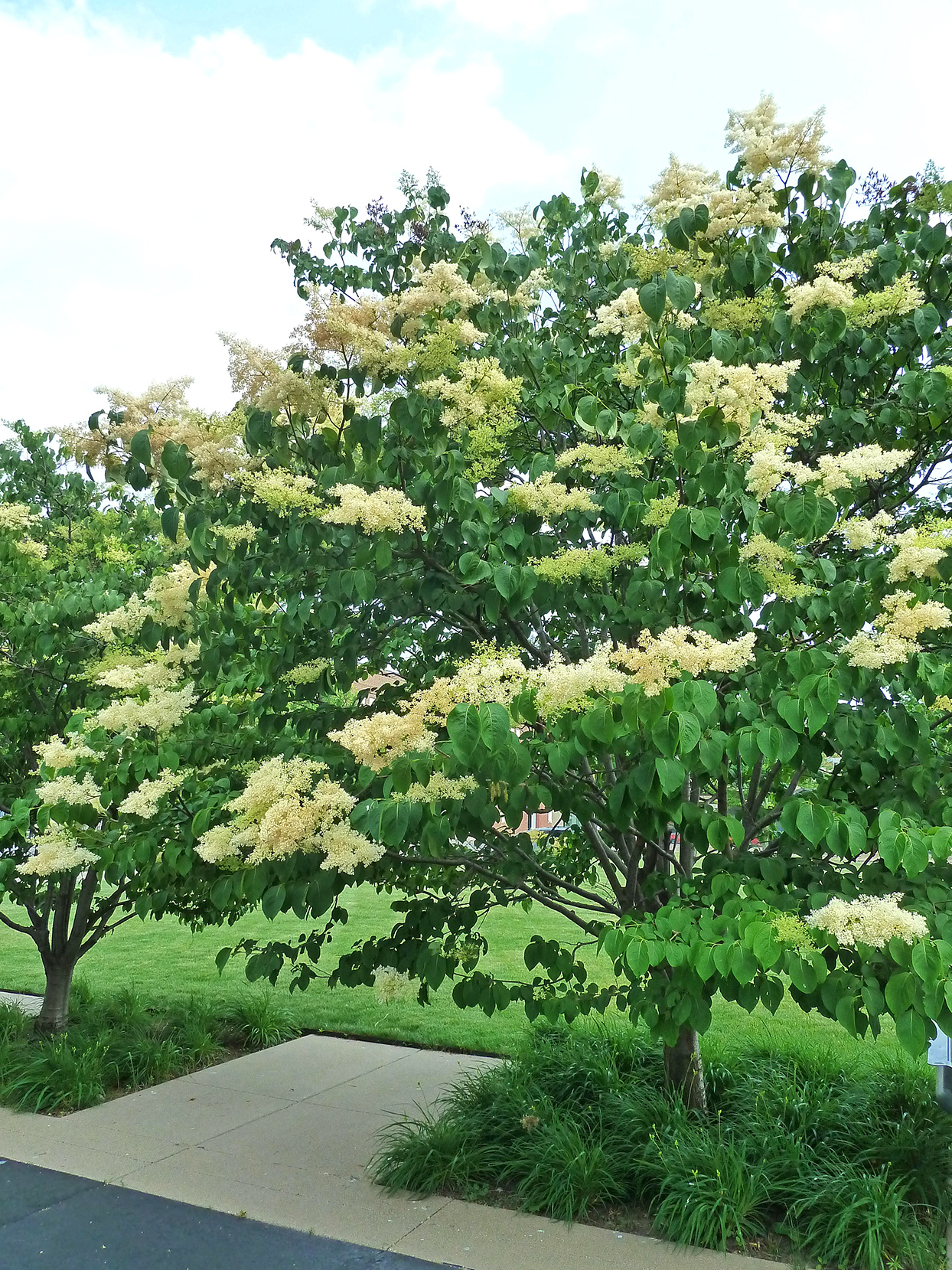 fragrant flowering japanese tree lilac
