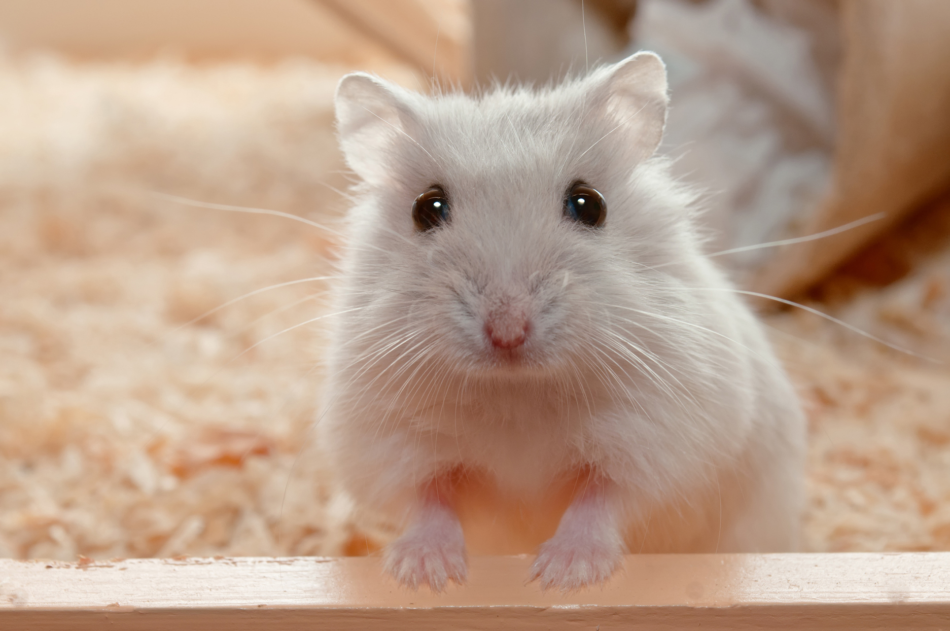 A small white hamster in a cage