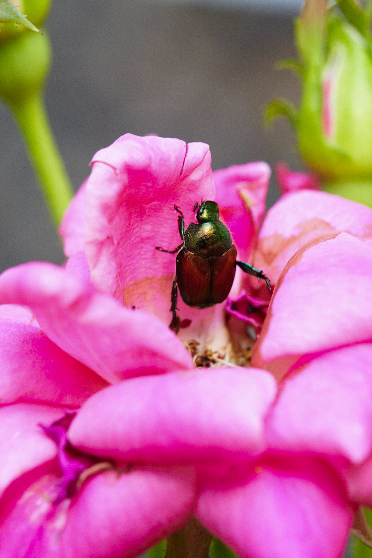 bug on bright pink flower