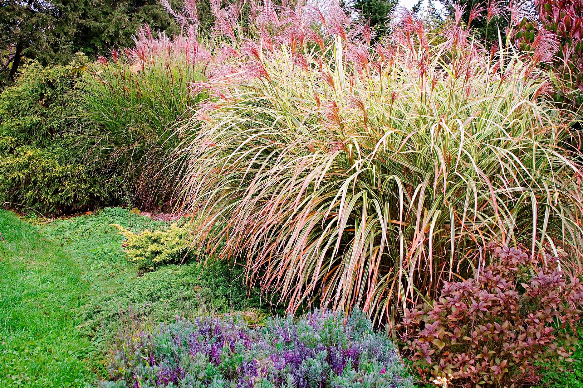 miscanthus-silvery-seed-heads-plumes-ec60ce44