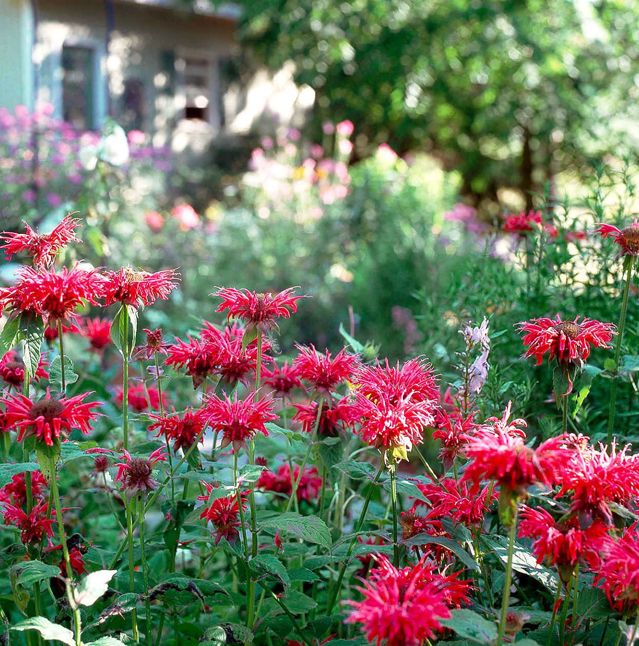 mondarda bee balm with red flowers