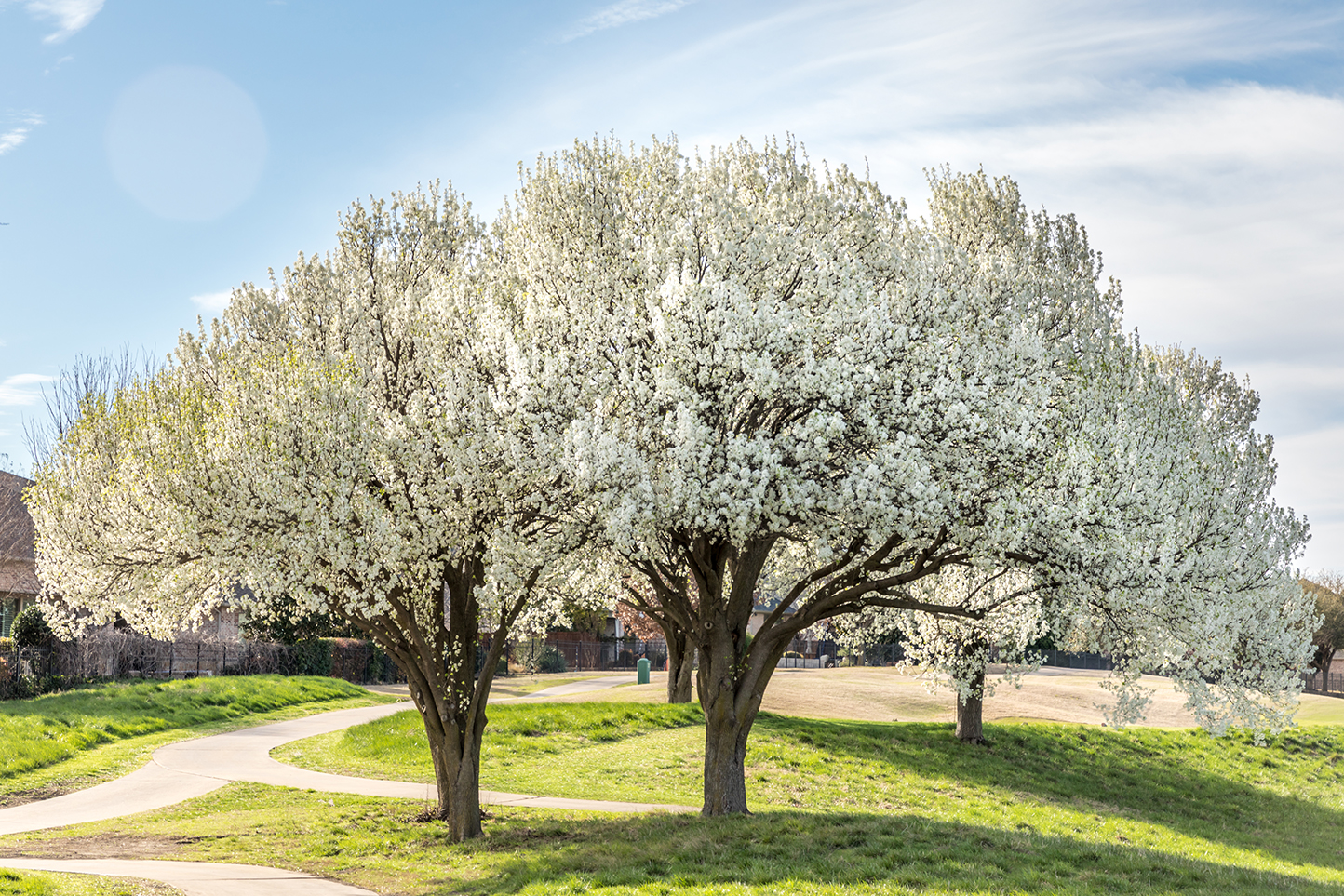 white flowering bradford pear tree on green grass with sidewalk